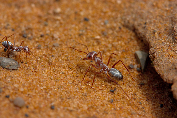 Natural Selection Ant Uf
