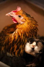 Chick and Tilda, its mother (photo © and courtesy of Hannele Luhtasela-El Showk)